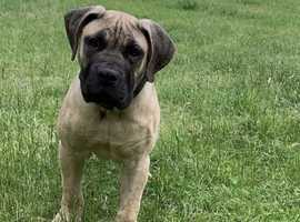 Very rare boerboel pups for sale !