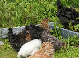 5 hens 1 Cockerel available