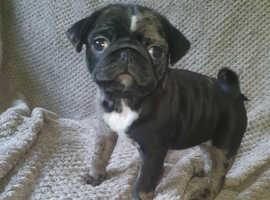 Beautiful Merle Pug Puppy