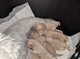 Perfect poochon puppies