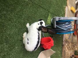 rabbit mini papillon  &  lion head