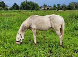 Licensed Cremello Stallion