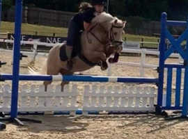 Palomino registered section B 12.2hh Gelding