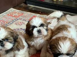 Beautiful Pedigree Shih Tzu Puppies for sale