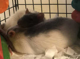 2 Male Pet rats, cage and all accessories