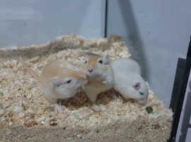 Male gerbils