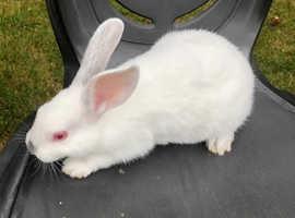 Baby Himalayan rabbit