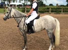 12.2 HH Welsh sec pony