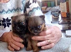 Adorable  extra small Chihuahua xPomeranian puppies