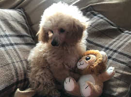 Toy poodle girl 4 months old