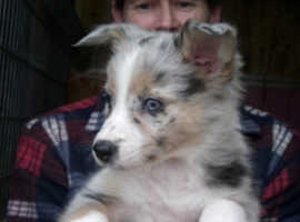 MERLE AND  COLOURED BORDER COLLIE PUPPIES
