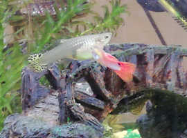 Guppy fry, guppies babies fish, 2 for £1