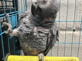 Rare red factor crossbreed african grey