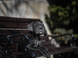 Top quality blue cane corso female available! FCI pedigree!