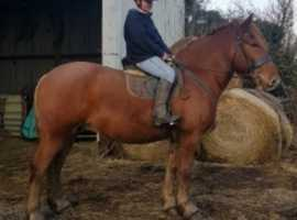 Stunning heavyweight Suffolk punch gelding