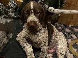 7 week GSP puppies last 2 remaining