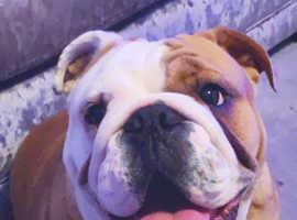 Amazing kc reg red and white English bulldog girl