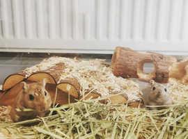 2 male gerbils