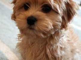 Wanted small dog companion