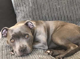 Blue stafforshire bullterrier for sale she is 24 months old