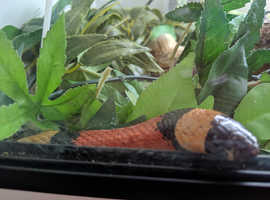 Milk Snake -Free to good home with tank