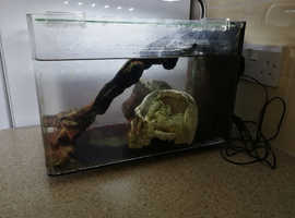 Pair of African Long Clawed Frogs for sale