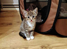Two kittens for sale