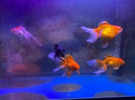 5 Fancy goldfish for sale