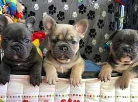 Stunning French Bulldog puppies