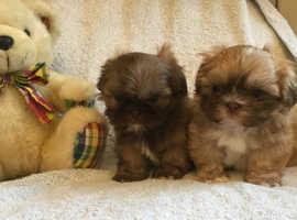 Beautiful Male shihtzu puppies