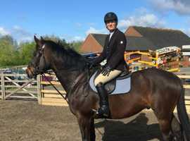 16.2 5yr old gelding to hack
