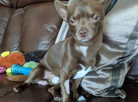 Chocolate brown chihuahua for stud
