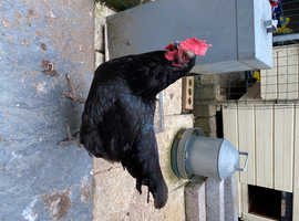 Friendly laying Hen Free to good home
