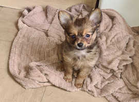 Last pomchi puppy male