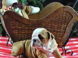 Healthy 09 weeks old,healthy certified microchip English Bulldog puppies