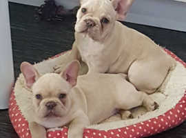 Blue platinum french bulldog puppies