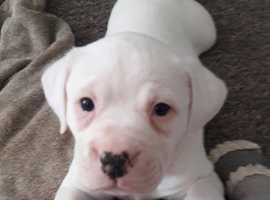 Stunning 3mth old Pure Bred American Bulldog pups!