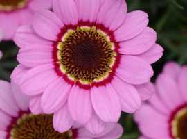 Buy Shrubs, Perennials & Alpines