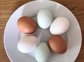 POL hybrid hens