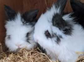 Lionhead x baby bunnies
