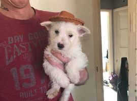 Westie x jack Russell pup male for sale