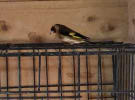 Canary goldfinch