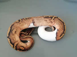 A lovely pied ball python