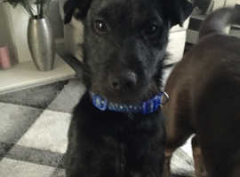 Ten month old working patterdale terrier
