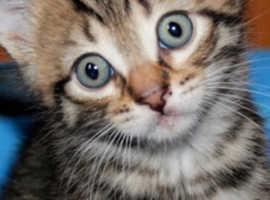 Very cute tabby kitten