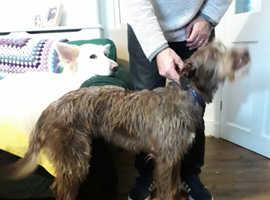 Slovakian rough hair hound X