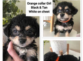 3 left ready to leave now beautiful morkie pups