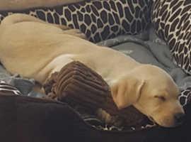Kc reg labrador pup for sale