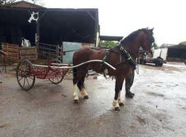 14 hand stallion