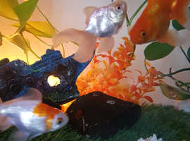 Goldfish is looking for a new home
